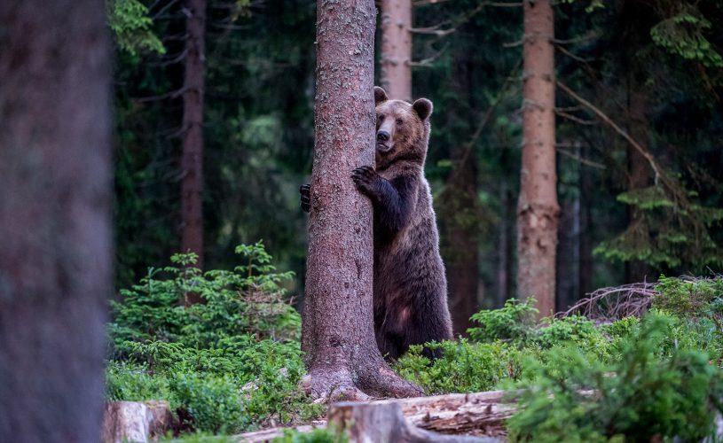 Observatorul de ursi de la Rasnov.